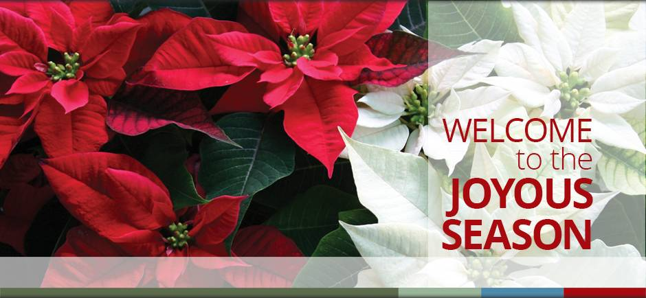 poinsettia holiday christmas decorating