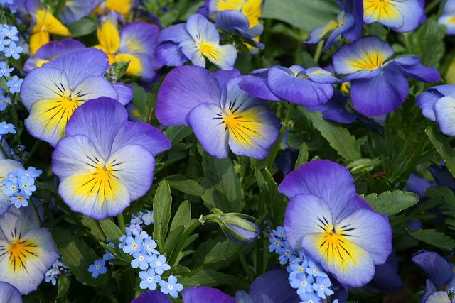viola blue and yellow