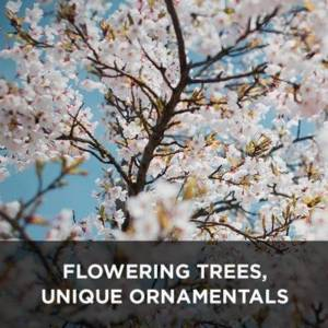 Flowering trees, unique ornamentals from your Greenhouse and Garden Center in Lancaster, Pa