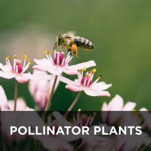 Pollinator plants from your Greenhouse and Garden Center in Lancaster, Pa