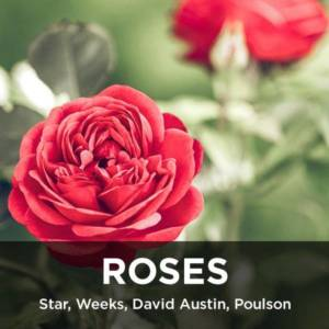 Star Roses, David Austin, Weeks Roses from your Greenhouse and Garden Center in Lancaster, Pa