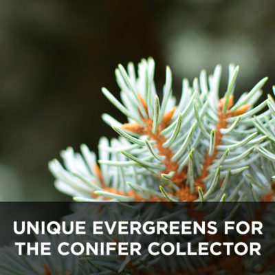 Unique Evergreens for the Conifer Collector from your Greenhouse and Garden Center in Lancaster, Pa