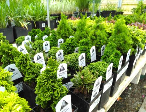 5 Reasons to Buy Miniature Evergreens