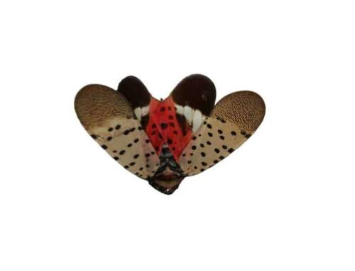 What You Need to Know about Spotted Lanternfly