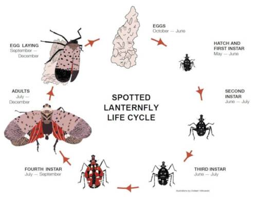 The Life Cycle of Spotted Lanternfly