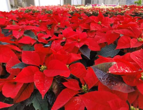 5 Tips for Taking Care of Your Poinsettias